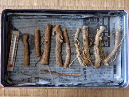 乾燥した種根